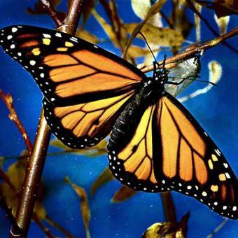 La mariposa monarca, aliada del desarrollo sostenible en Mé