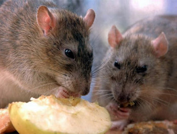 Significado de so ar con ratas soy esot rica - Como cazar ratones ...